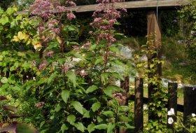 Eupatorum purpureum - Rosenflockel