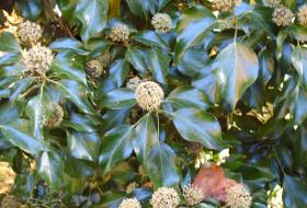 Hedera helix - Murgröna med blommande toppskott