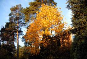 Liriodendron tulpifera - Tulpanträd i höstskrud
