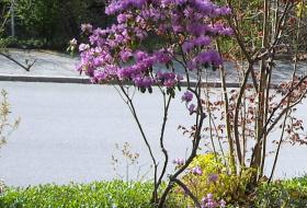 rhododendroon-pjm