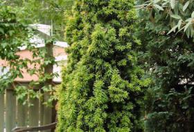 Taxus baccata fastigiata aurea - Gulbarrig pelaridegran