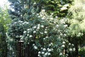 Viburnum rhytidophyllum - Städsegrönt rynkolvon