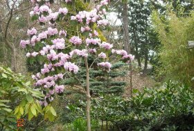 Rhododendron fargesii.