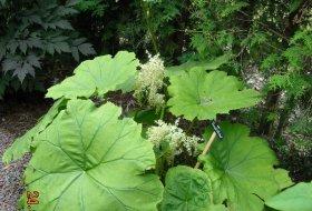Astilboides tabularis Parasollblad