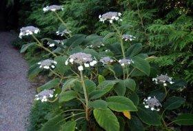 Hydrangea aspera sargentiana - Sammetshortensia