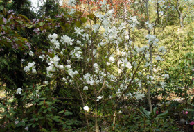 Magnolia loebneri 'Merril' - Kobus-hybrid