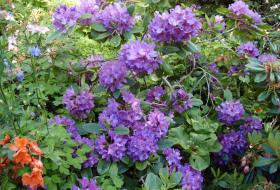 Rhododendron Lees Dark Purple - Catawbiense-hybrid