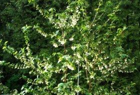 Halesia-monticola-Snödroppsträd