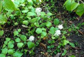 Fothergilla-gardenii-Häxal