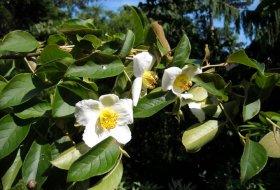 Stewartia-sinensis-Skenkamelia