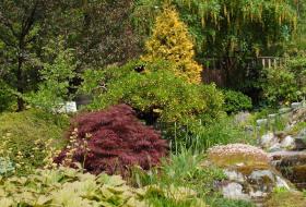 Acer palmatum atropurp - Röd japanlönn