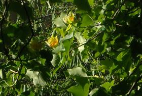 Tulpanträdet blommar