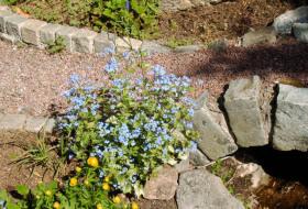 Brunnera macrophylla 'Jack Frost' - Kaukasisk förgätmigej