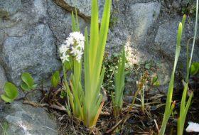 Menyanthes trifoliata - Vattenklöver