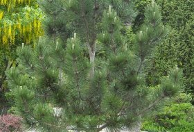 Pinus leucodermis - Ormskinnstall