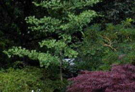Ginkgo biloba - Tempelträd