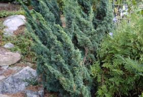 Juniperus chinensis 'Blaauw' - Kinesisk en