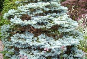 Picea pungens glauca globosa - Liten blågran