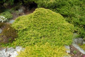 Picea abies procumbens - Krypgran