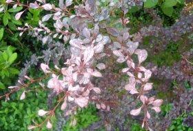 Berberis thunbergii 'Rose Glowe' - Brokberberis