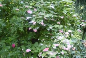 Actinidia kolomicta - Kameleontbuske