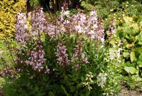 Dictamnus albus - Moses brinnande buske