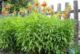 Fritillaria imperialis - Kejsarkrona