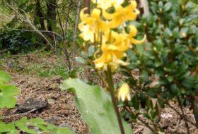 Erythronium dens-canis-Hundtandlilja