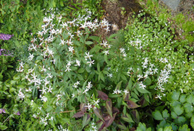 Gillenia trifoliata - Trebladspira