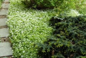 Galium odoratum - Myskmadra