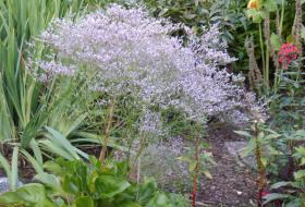 Limonium latifolium - Silverrisp