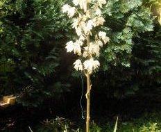 Yucca filamentosa - Palmlilja