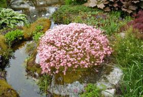 Saxifraga arendsi- Rosenbräcka