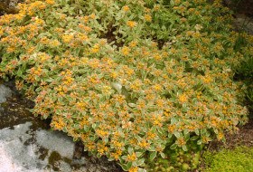 Sedum spurium variegatum - Brokbladig Kaukasisk fetblad