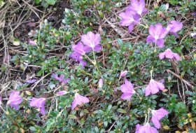Rhododendron radicans - Krypande dvärgrhododendron