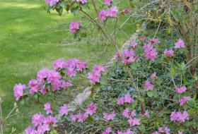 Rhododendron 'P.J.Mezitt'