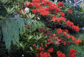 Rhododendron Satan