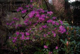 Rhododendron consinnum