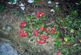 Rhododendron Repens Scarlet Wonder-hybrid