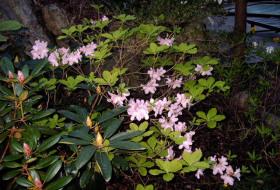 Rhododendron schlipenbachii - Koreansk azalea