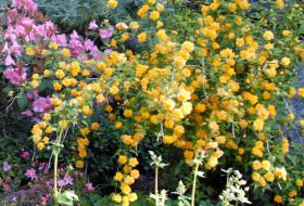 Kerria japonica fl.pl.