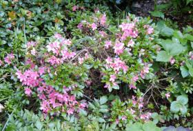 Rhododendron 'Diamant Rosa'