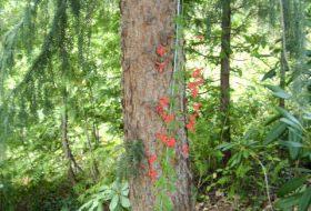 Tropaeolum speciosum-Eldkrasse