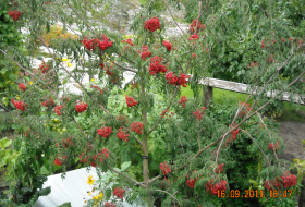 Sorbus 'Chinese Lace'