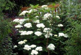 Hydrangea arborescens - Vidjehortensia
