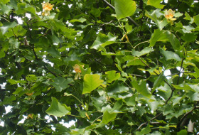 Liriodendron tulpifera - Tulpanträd, blomning