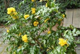 Mahonia aquifolium - Mahonia