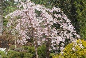 Prunus subhirtella - Vårkörsbär