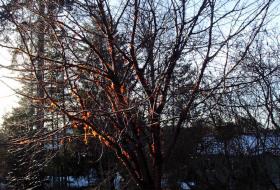 Prunus serrula - Glanskörsbär på vintern