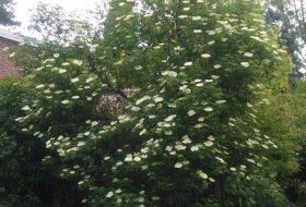 Sambucus nigra - Äkta fläder